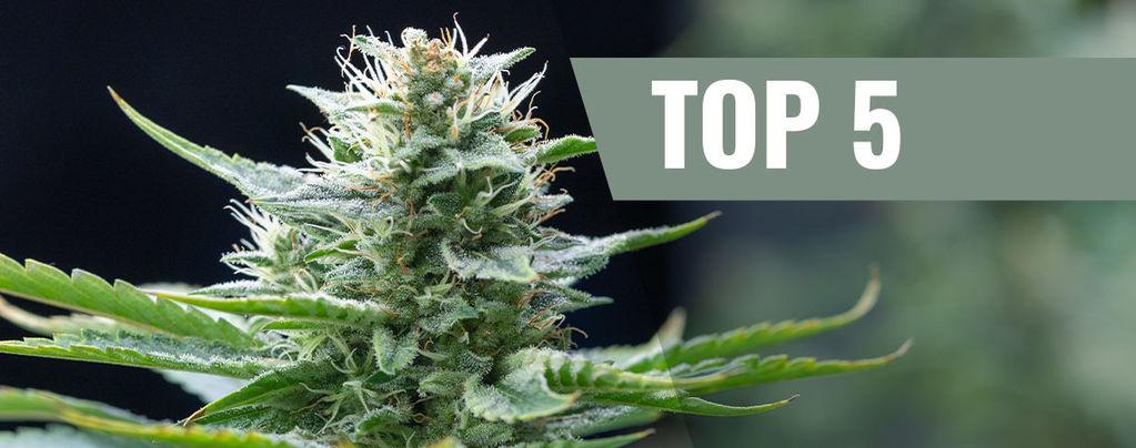 Top 5 Sativa Strains of 2016