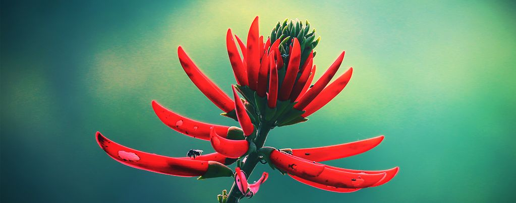 Mulungu: A Naturally Relaxing Herb From The Amazon