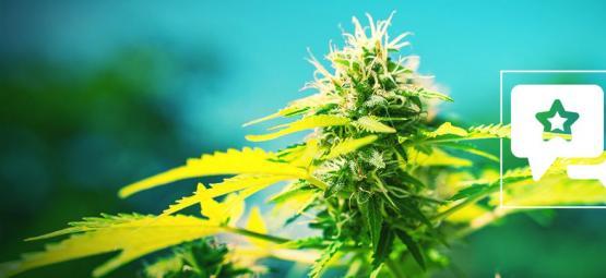 Power Flower: Cannabis Strain Review & Information