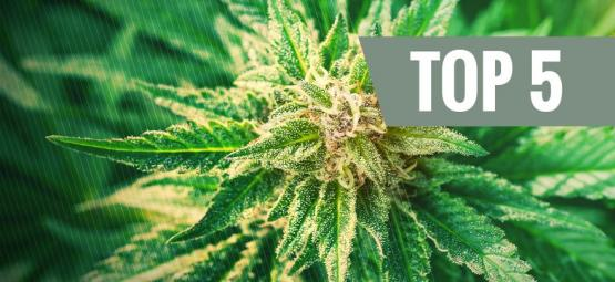 What Is Cannabis Ruderalis?