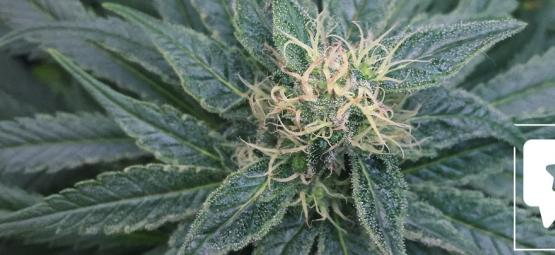 Strain Review: Royal Medic From Royal Queen Seeds