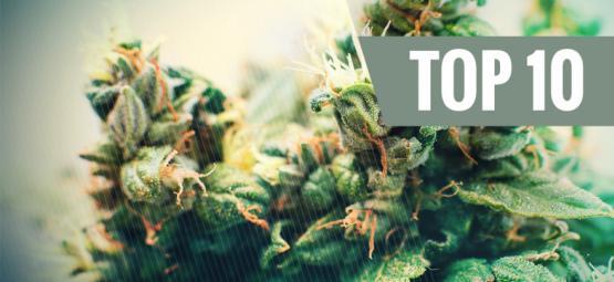 Top 10 Autoflowering Cannabis Strains