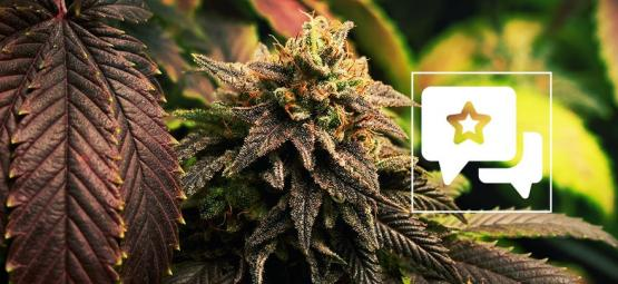 Strain Review: Blue Widow