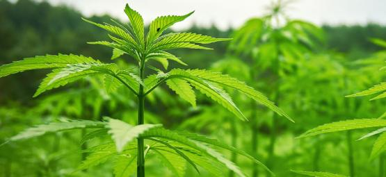 How To Have A Stress-Free And Succesful Outdoor Stealth Grow
