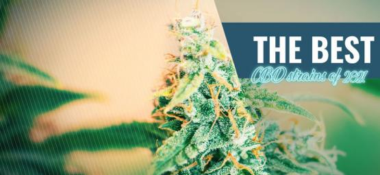 Best CBD Strains To Grow At Home In 2021