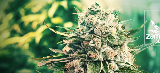 Gorilla Glue Cannabis Strains: Their History And Our Favorite Three