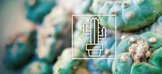 Mescaline Cacti Differences