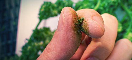 What To Do Against Sticky Cannabis Fingers