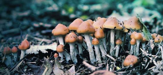 A Closer Look At The Magic Mushroom Psilocybe Azurescens