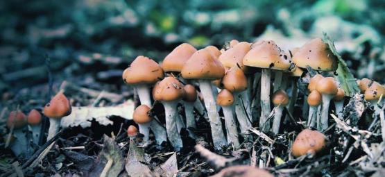 A Closer Look At The Magic Mushroom Psilocybe Azurescens
