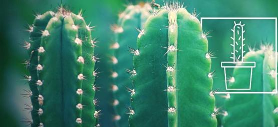How To Grow And Care For San Pedro Cactus