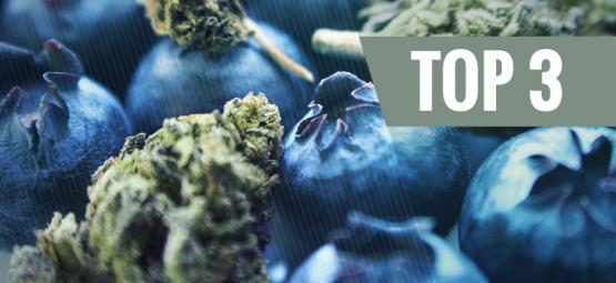 The Origin Of Blueberry Cannabis & The Top 3 Blueberry Strains