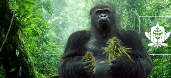 The Origin of Gorilla Glue Cannabis And The Top 3 Gorilla Glue Strains