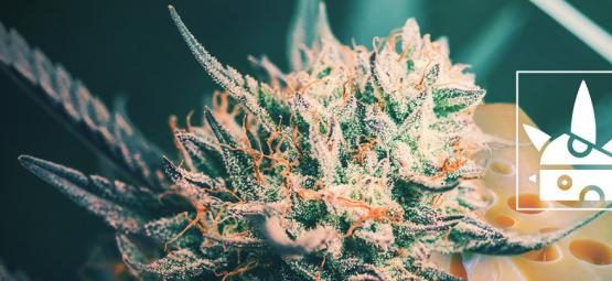 The Origin Of Cheese Cannabis And The Top 3 Cheese Strains