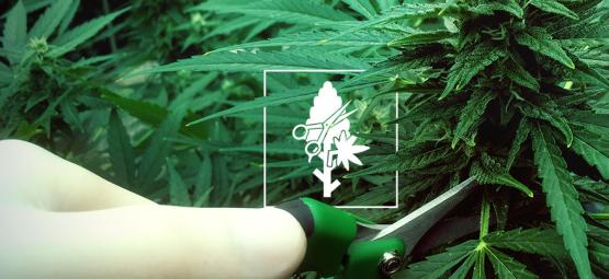Top 4 Pruning Techniques For Your Cannabis Plants