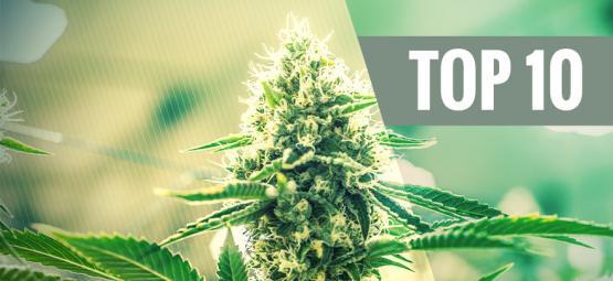 Top 10 Kush Cannabis Strains