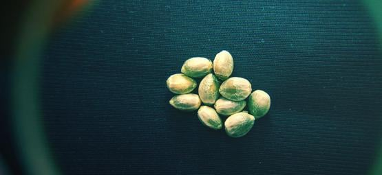 How To Recognise High-Quality Cannabis Seeds