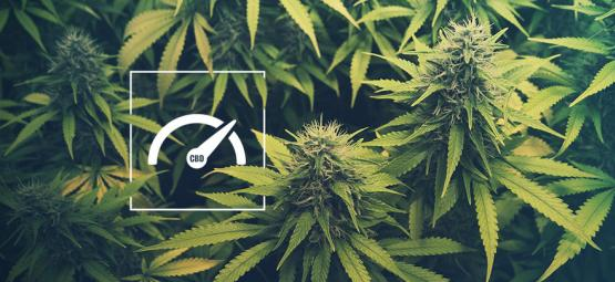 How To Increase CBD Levels When Growing Weed