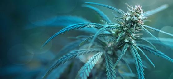 Less Than 1% THC Cannabis Strain: CBD Fix Auto