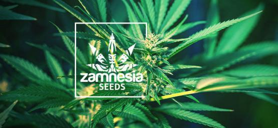 New Sensi Seeds Research Line Of Strains - Zamnesia Blog