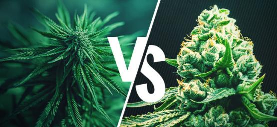 Cannabis Indica VS Cannabis Sativa - Debunked!