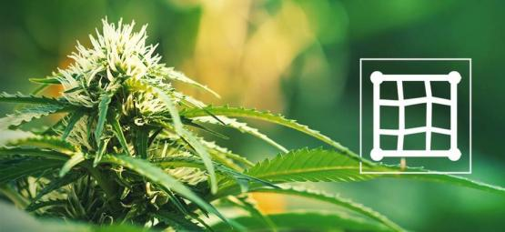 Best Cannabis Strains To Grow In A Screen Of Green (ScrOG)