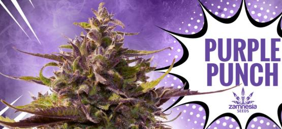 Purple Punch: Flavour, Potency, And Beauty—All In One
