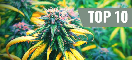 Top 10 Cannabis Strains For The Autumn Season