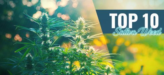Top 10 Best Sativa Weed In Amsterdam