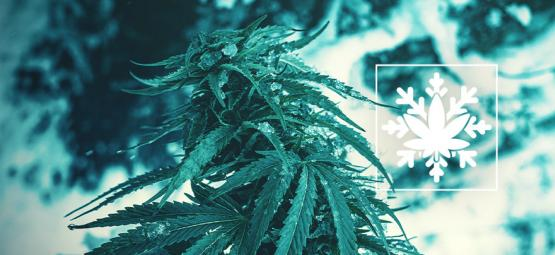 How To Grow Cannabis In Winter (Yes, It's Possible!)