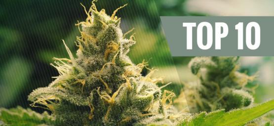 Top 10 Classic Cannabis Strains