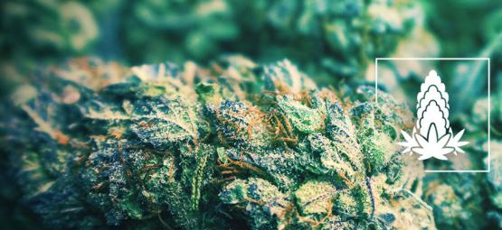 6 Tips For Improving The Density Of Cannabis Buds