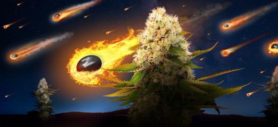 Zamnesia x Exotic Seed: Black Zkittlez (Limited Edition)