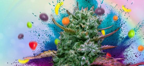 Runtz: Strain Review And Information