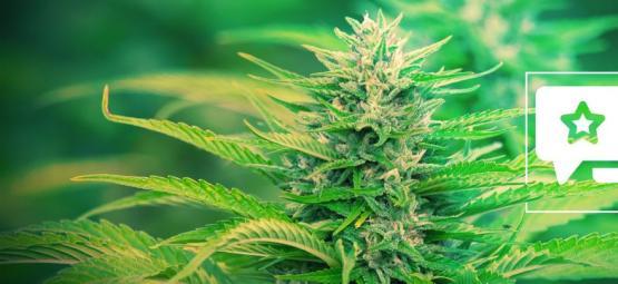 Gorilla Zkittlez: Cannabis Strain Review & Information