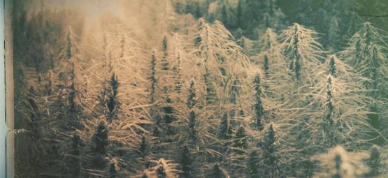Landrace Strains: The 5 Oldest Cannabis Strains