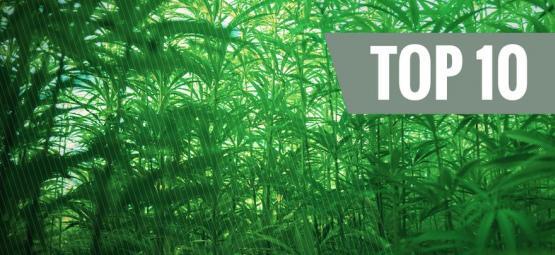Top 10 Tallest Cannabis Strains