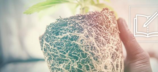 Why And How To Use Cannabis Roots