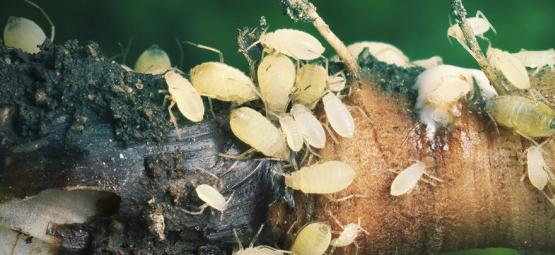 Cannabis Root Aphids And How To Combat Them