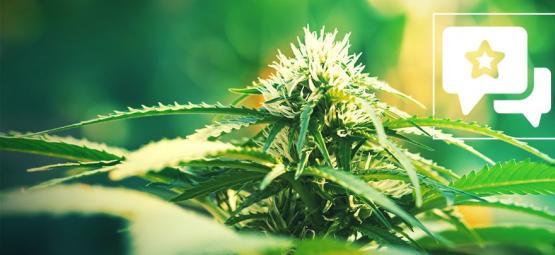 Super Lemon Haze: Cannabis Strain Review & Information