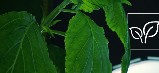 How To Grow Salvia Divinorum