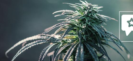 Northern Lights: Cannabis Strain Review & Information