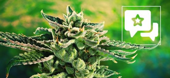 Strain Review: Blue Cheese