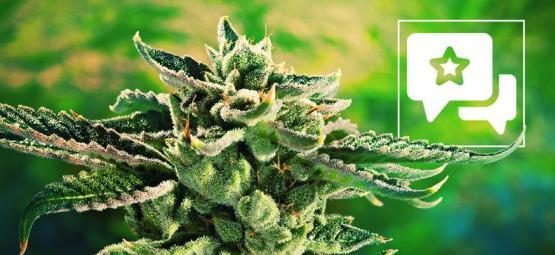 Blue Cheese: Cannabis Strain Review & Information