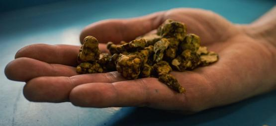 Exploring Psilocybe Tampanensis: The Original Truffle