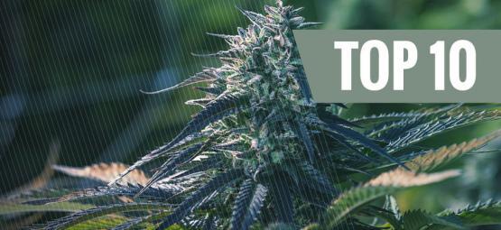 Top 10 Reasons To Grow Autoflowering Cannabis