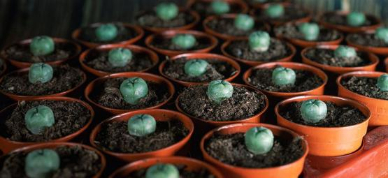 The Long-Term Effects of Peyote Use on the Brain