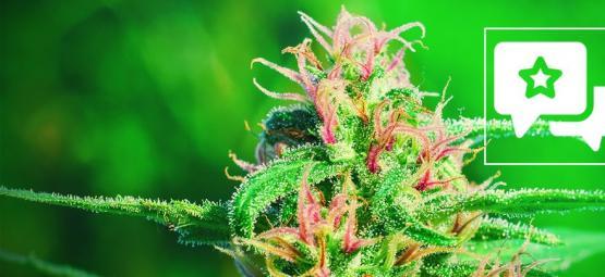 White Widow: Cannabis Strain Review & Information