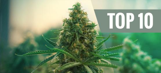 Top 10 Best Cannabis Strains