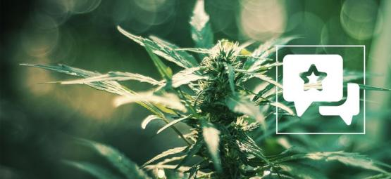 White Russian: Cannabis Strain Review & Information